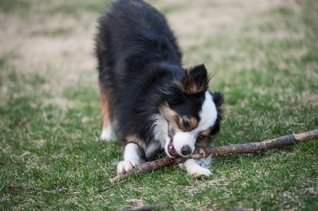 Little Australian Shepherd dog chews on a large stick in the grass