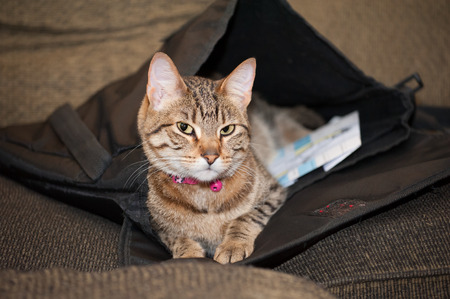 possessive: Cat takes position in and possession of a work satchel left lying on a couch.