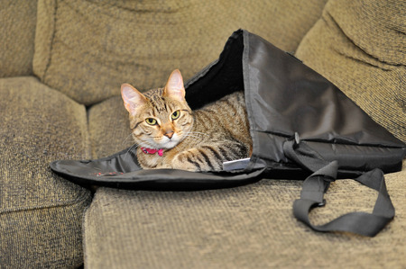 possessive: Pet Cat Lies Takes Possession of a Satchel on a Couch, Lying Inside It Like a Sleeping Bag Stock Photo