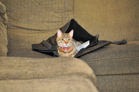 A cat lies in her newly claimed home: someones satchel left lying on the couch