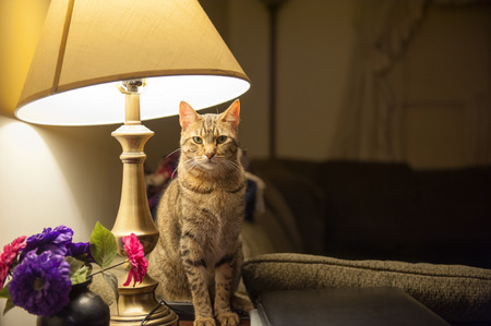house cat: A beautiful cat sits on an end table and directly beneath a table lamp in a living room setting