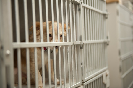 Little Chion dog sits behind the bars of a shelter cage