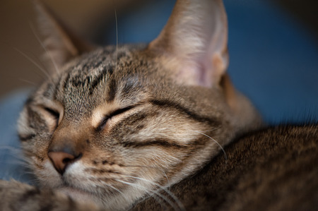 A closeup of a tabby cat face with its eyes closed