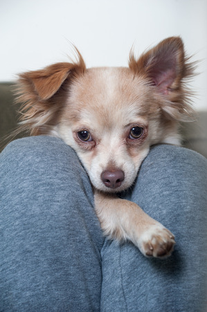 A Papillon-Chihuahua mix puppy looks into the camera from between the legs of its owner in a closeup shot of the dogs face Stock Photo