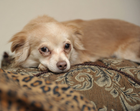 Closeup of Papillon puppy lying on ornate pillows