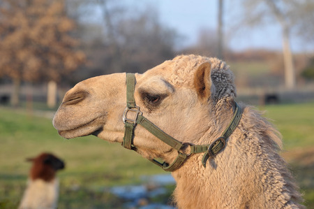 cloesup: Cloesup of a camel head in a harness Stock Photo