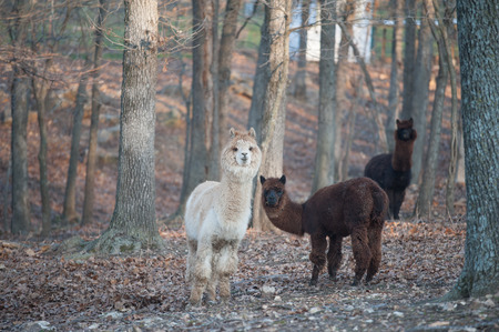 Lamas in the woods