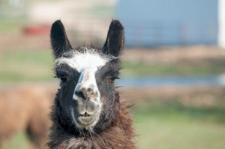 Close-up of a brown and white llama headshot Stock Photo