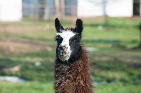 Close-up of a brown and white llama headshot photo