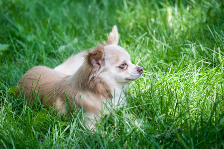 Small family pet dog chihuahua papillon mix lies contentedly in the tall grass Stock Photo