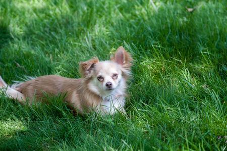 A small dog lies in shady dark green grass