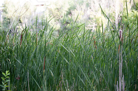 Natural grasses grow in protected wetlands preserve