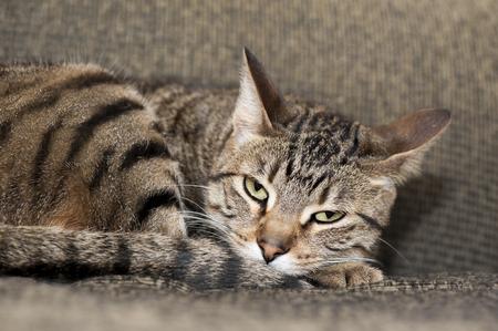 molesto: Un gato cansado parece molesto por el individuo fuera de la foto molesto mientras ella trata de tomar una siesta Foto de archivo