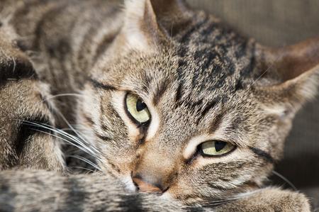 molesto: Primer extremo de un gato que mira cansada molesto por el individuo fuera de la foto de su molesto como ella trata de tomar una siesta