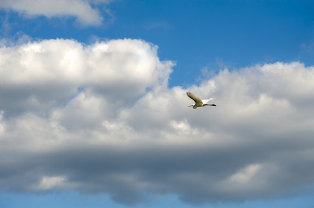 A white egret spreads its wings and flies across the sky with clouds Stock Photo