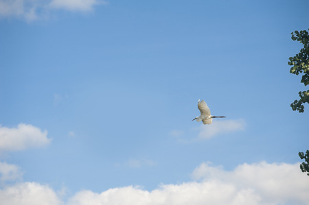spreads: A white egret spreads its wings and flies across the sky with clouds Stock Photo