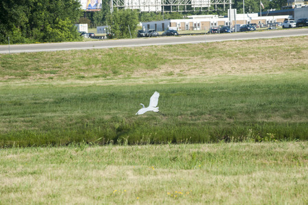 A beautiful white egret gracefully lands in a grassy oasis in the middle of a highway cloverleaf Stock Photo