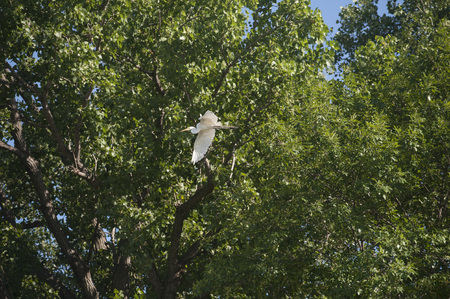 A beautiful white egret sails past the leaves on the trees as it flies away Stock Photo