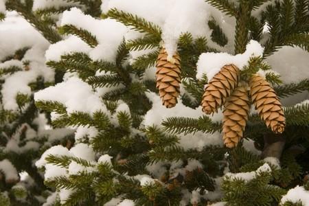 Pine cones on snowy tree Stock Photo