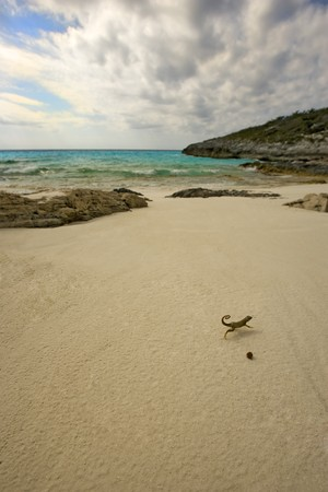 A Curly Tailed Lizard runs across a deserted beach Stock Photo