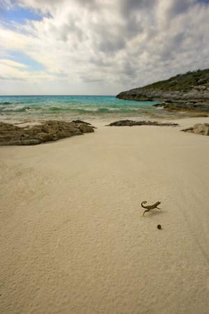 A Curly Tailed Lizard runs across a deserted beach Stock Photo