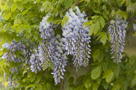 Purple Wisteria Sinensis flowers hanging from a vine surrounded by green leaves Stock Photo
