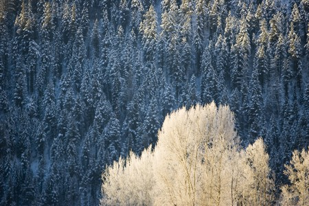 shadowed: Sunlit Aspen tree in foreground with shadowed pines in the background. Stock Photo
