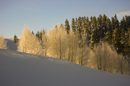 quaking aspen: Sunlight on Quaking Aspen and Pine trees in Winter Snow