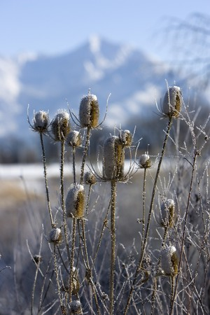 Dipsacaceae Dipsacus sylvestris, Teasel, in winter with soft focus mountain in the background. Stock Photo