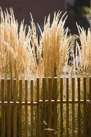 Golden tall grass lit by the sun behind a simple fence