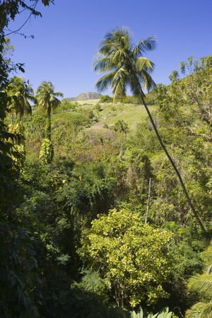 A lush Caribbean Forest with distinctive palm tree in the center