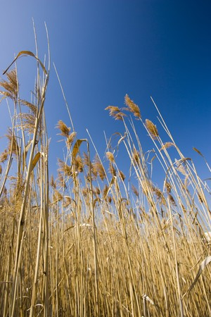 Marsh grass rising into a blue sky