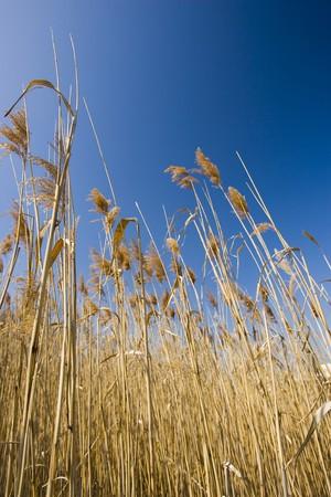Marsh grass rising into a blue sky