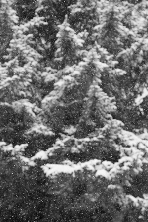 Black and white snow laden pine trees out of focus with snow fall in foreground Stock Photo