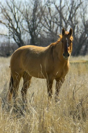 A golden horse looking at the camera is standing in a field of tall grass Stock Photo