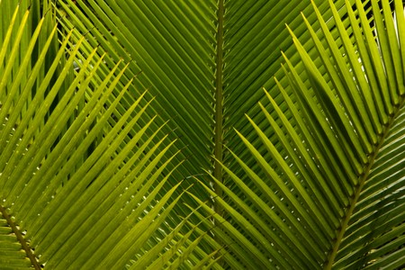Palm tree leaves fanned in a horizontal framing Stock Photo