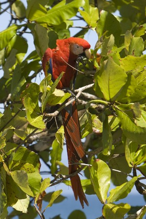 A full length Scarlet Macaw in a tree eating Stock Photo