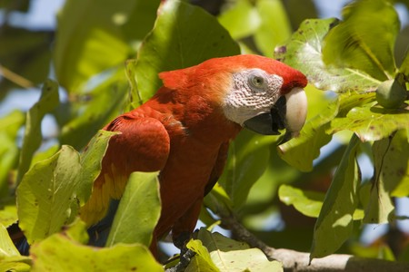 a Scarlet Macaw looks at the camera from a tree