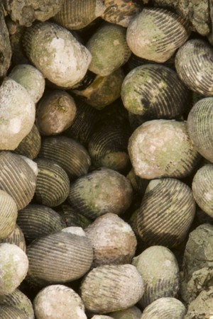 Nerita scabricosta Lamarck, Rough - ribbed Nerite bunched together