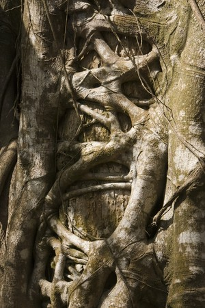 A tangle of roots on a tree