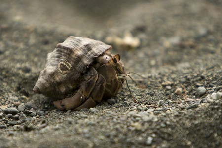 A Hermit Crab looks out of its shell on the beach