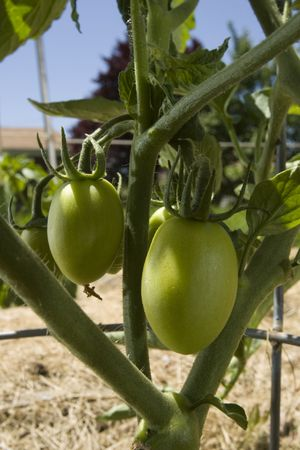 Green ripining tomatoes on a vine in the sun