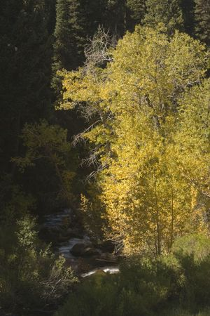 Yellow fall colored trees are light up next to a flowing mountain river.
