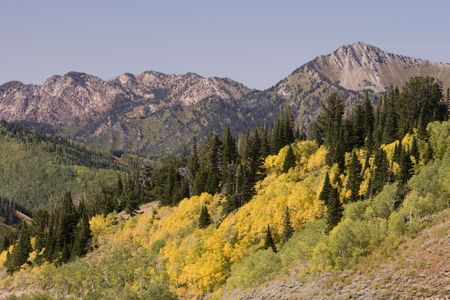 Bright yellow colored Quaking Aspen trees, in fall bloom, amidst the green pines under a mountain range. Stock Photo
