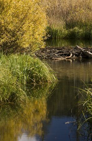 Beaver dam on a stream with fall colored plants reflecting off the water surface. Stock Photo