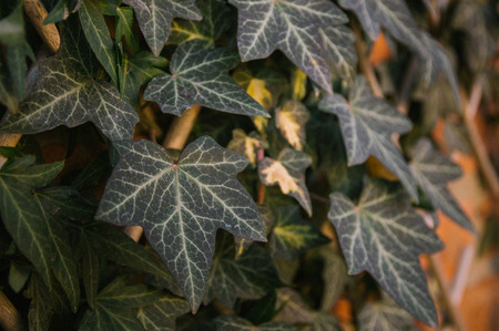 Ivy on a brick wall. Evergreen. The landscaping of the yard. Ecology. Reklamní fotografie