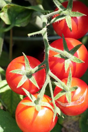 ripe: Red ripe tomatoes