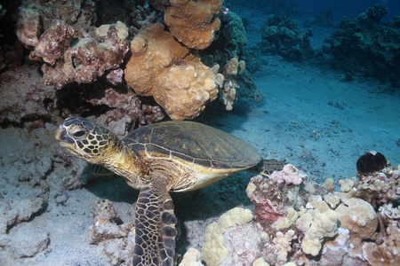 Hawaiian Green Sea Turtle Stock Photo - 10793505