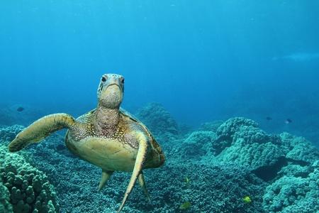 kona: Hawaiian Green Sea Turtle