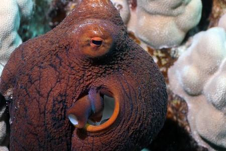 Hawaiian Day Octopus photo